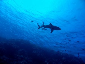 requins en Martinique